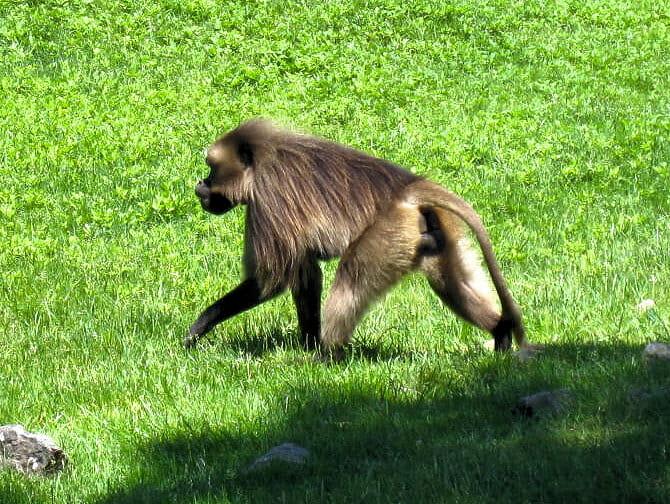 Scimmia al Bronx Zoo NYC