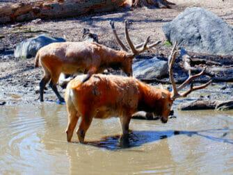 Bronx Zoo a New York - Animali che bevono