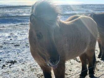 Fermata in Islanda alla volta di New York Islandpferd