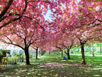 Brooklyn a New York - Brooklyn Botanic Garden