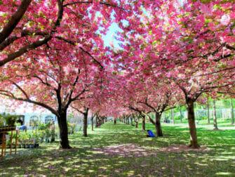 Botanical Gardens di New York - Fiori di ciliegio